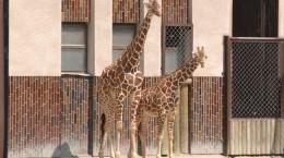 zoo-dvur-kralove-zirafy